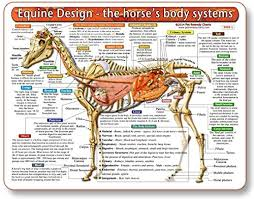 Details About The Horses Body Systems A Double Sided Uv Protected Laminated Horse Anatomy