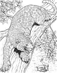 Jaguar Jaguar Eyeing On Mule Deer Coloring Pages Jaguar Eyeing On