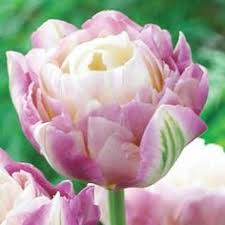 sweet desire tulip soft purple and white flowers light green streaks peony flowers that look like tulips r56