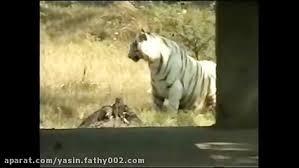 Pada postingan kali ini admin akan berbagi perihal gambar harimau vs macan tutul yang kami posting dengan judul unduh 600 gambar harimau v. Pertarungan Elang Vs Dua Predator Terbaik Di Dunia Elang Vs Singa Vs Harimau