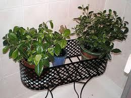 lynne s gardenia plants gardenia jasminoides
