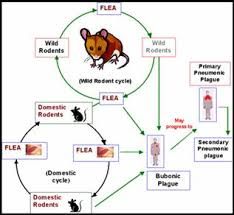 Bubonic Plague Chart Invasion Biology Introduced Species Summary Project