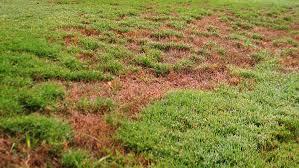 Turf Disease Minimizing Lawn Disease In The Fall Garden Style San Antonio