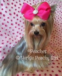 Pet Insurance Comparison Chart 2015 Peaches Yorkie Peachy Girl Shining After Using Cowboy Magic