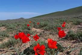 Растительность пустынь и полупустынь Неизвестное об известном  Узбекистан пустыня весной
