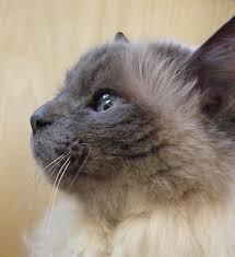 Small Picture 19 best birman cat images on Pinterest Birman cat Animals and