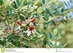 genus Feijoa