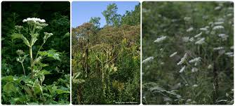 metre giant umbrella: the flowering portion of giant hogweed middle is umbrella shaped rounded top