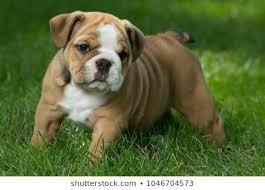 English Bulldog Price Chart English Bulldog Puppy Images Stock Photos Vectors