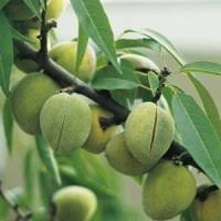 Fruit Plants And Seeds Fruir Trees Fruit Bushes And Nut Trees Fruit And Nut Trees
