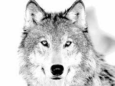Small Picture Realistic Wolf Coloring Pages To Print 00 Pinterest Wolf