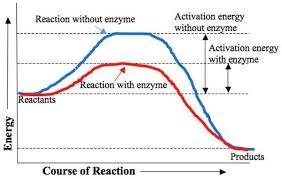 Enzyme Chart Bbc Gcse Bitesize Enzymes