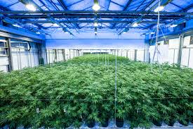 Grow Lights Massachusetts Weed Is Growing Into A Big Market For This Dutch Lighting