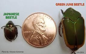 Cdfa Plant Japanese Beetle