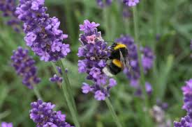 Image result for bumblebee on lavender