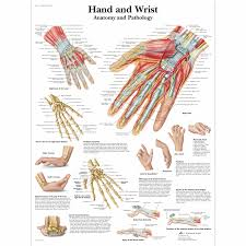 Hand And Wrist Chart Anatomy And Pathology