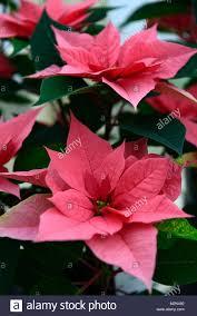 Euphorbia Pulcherrima Majestic Pink Weihnachtsstern Rosa