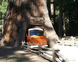 chandelier drive through tree volkswagen vanagon stuck in leggett drive thru tree