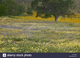 na usa ca san luis obispo co lone oak and spring wildflowers