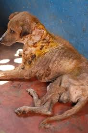 Image result for DOG DISEASE