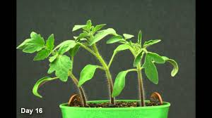 Tomato Seed Growth Chart Time Lapse Tomato Plant Hd