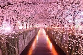 Bunga Sakura Gambar Bunga Sakura Jepang Indah Cantik Gambar Kata Kata