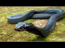 black cobra king of snakes hd 1080p