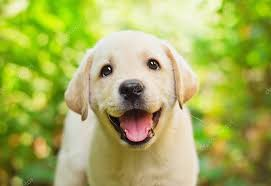 yellow lab puppy in the yard stock photo 10214337