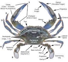 Crab Species Chart Crustaceans Crabs Marine Biology New Jersey Scuba Diving