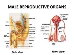 Knowing basics of anatomy provides a foundation for understanding different female reproductive system organs. Male Reproductive System