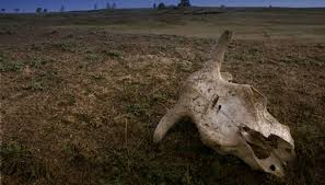 cow skull laid in steppe landscape image by denis topal from fotolia com