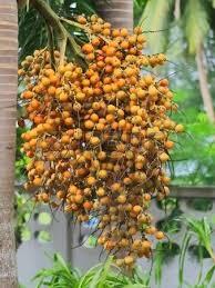 Best 25 Foxtail Palm Tree Ideas On Pinterest  Foxtail Palm Palm Palm Tree Orange Fruit