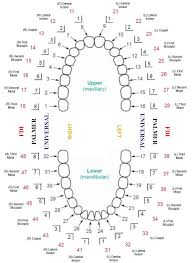 Image Result For Tooth Numbering System South Africa