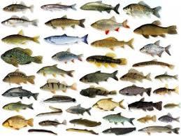 witvis soorten