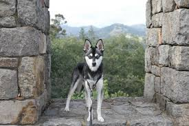 alaskan klee kai e in a standard miniature or toy size photo ispywithmylittleskye