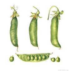 botanical vegetable art print peas watercolor painting by sally jacobs