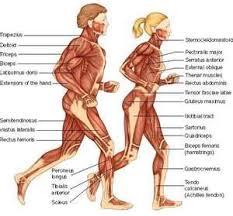 Full Body Muscle Anatomy Chart Body Muscle Anatomy Body