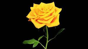 blooming yellow roses flower buds alpha matte full hd rose kerio timelapse