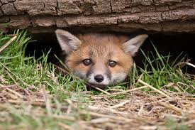 fox pest control reviews.  Pest Foxes At War In Fox Pest Control Reviews P