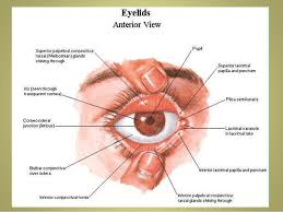 Eyelid Anatomy Anatomy Of Eyelids Its Clinical Correlations