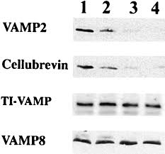 tetanus toxin soluble nsf attachment protein receptors snares in rbl 2h3 mast