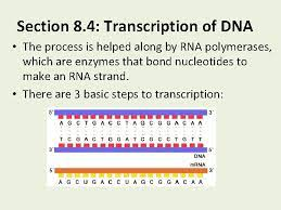 Amino acids are the building blocks of proteins. Chapter 8 From Dna To Proteins Section 8