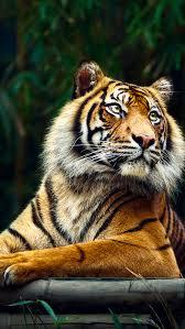 tiger iphone 6 wallpaper. Beautiful Iphone Siberian Tiger IPhone 5 Wallpaper And Iphone 6 L