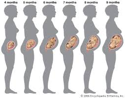 Human Fetal Growth Chart Gestational Age Definition Stages Britannica