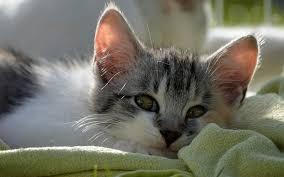 sweet cat love. Modren Cat Love Sleep Tired Kitten Sweet Cat To Sweet Cat Love