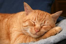 Image result for orange cat