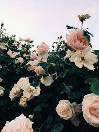 Rose Wallpaper Aesthetic Pink