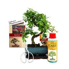 gift set bonsai ulmus chinese elm approx 6 years old beginner set