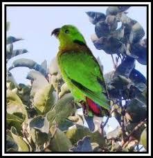 Wim Ducheyne. Wordt in het Nederlands Groenkop-agapornis of Zwartkraag papegaai genoemd. KENMERKEN: - swindernianus