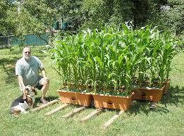 just a picture to show how easy it has been for me to grow corn with my garden patch boxes again thanks can t wait to show it off to my friends and